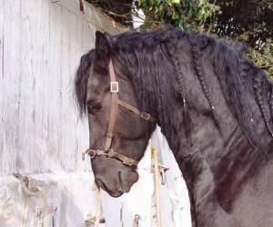 Approvazione stalloni  Friesian Horse