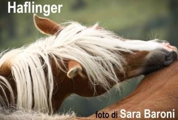 Cavalia in un click…il cavallo Haflinger nello sport