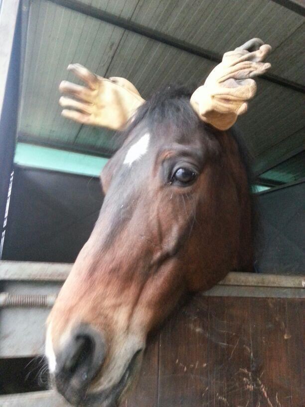 Cavallo o renna ??