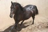 Il cavallo Sanfratellano